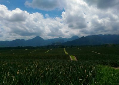 Ananasfelder